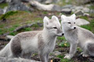 Arctic fox stock 9 by GrayeyesStock