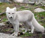 Arctic fox stock 10