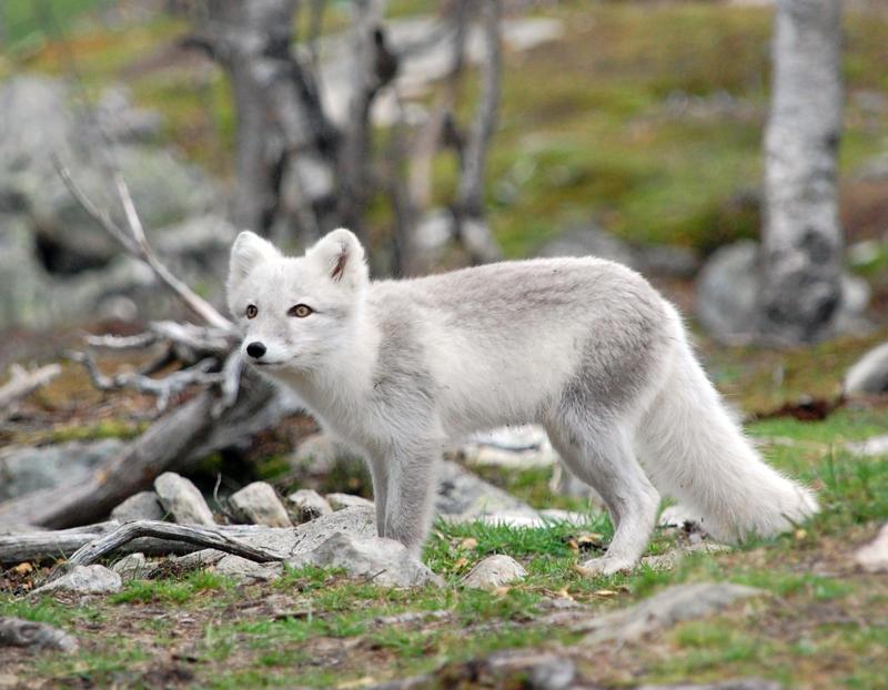 Arctic fox stock 11 by GrayeyesStock