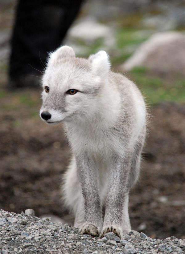 Arctic fox stock 13 by GrayeyesStock