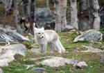 Arctic fox stock 14