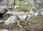 Arctic fox stock 16