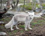 Arctic fox stock 17