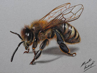 Bee DRAWING by Marcello Barenghi by marcellobarenghi