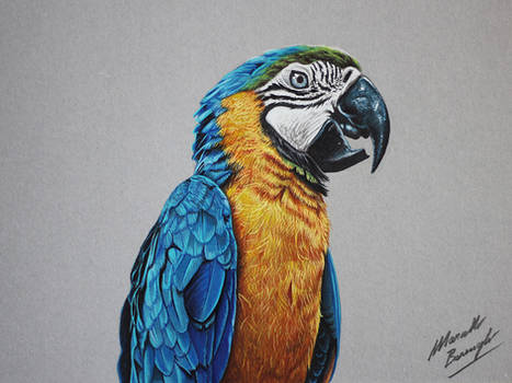 Blue and Gold Macaw Parrot drawing