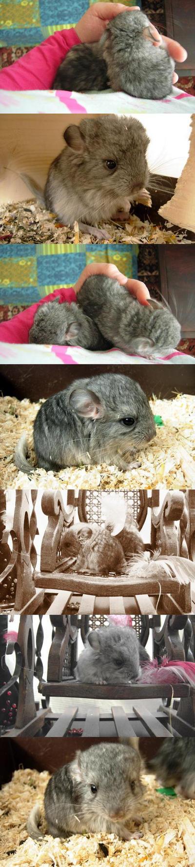 Little chinchillas-bigger ones