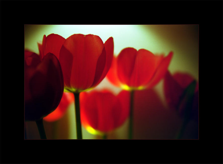 Tulips by photocell