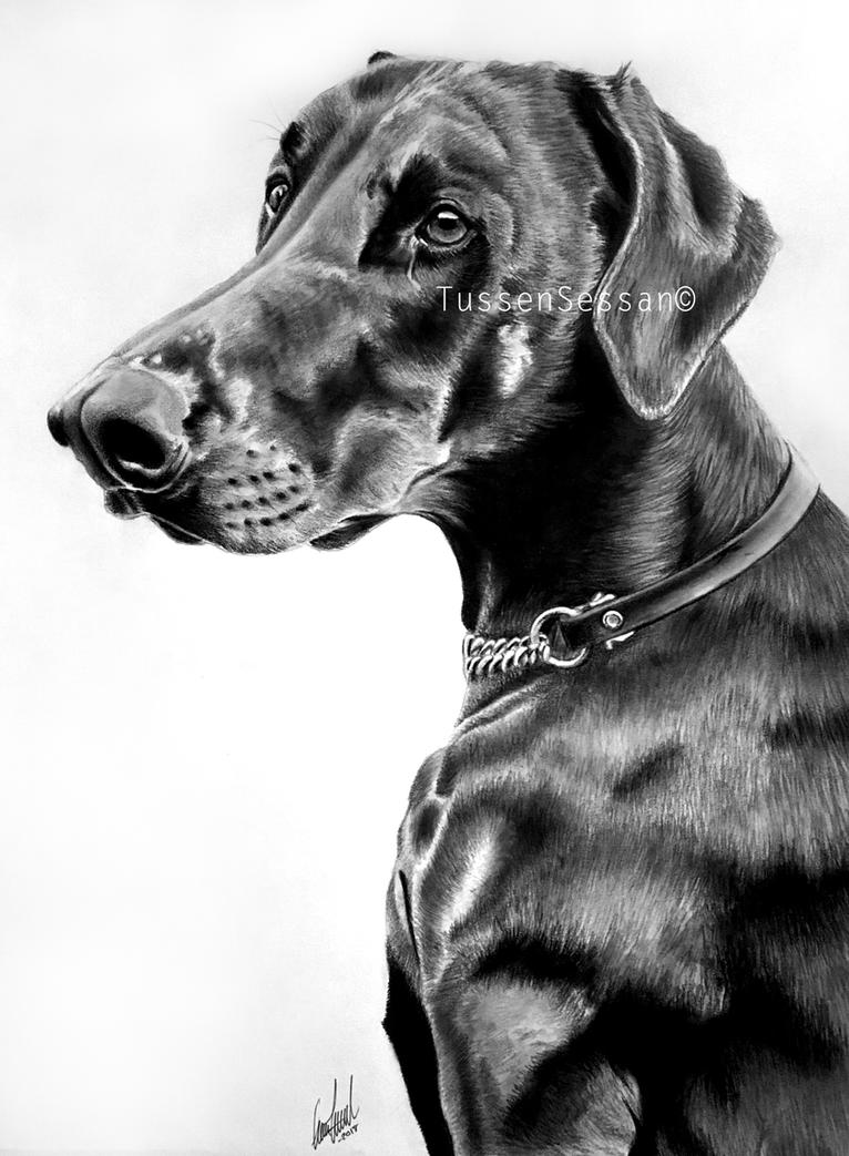 Hasse - Doberman Portrait by TussenSessan