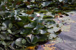 Water lilies stock