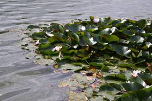 Water lilies stock II by EK-StockPhotos