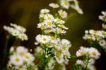 Daisies stock by EK-StockPhotos