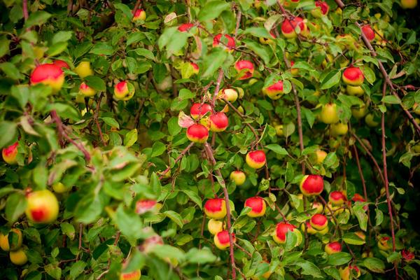 Apple tree stock by EK-StockPhotos