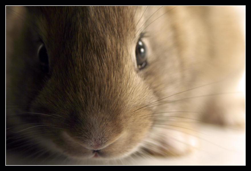Bunny by medveh