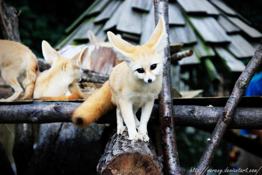 8 Fennec Fox HD Wallpapers | Backgrounds - Wallpaper Abyss