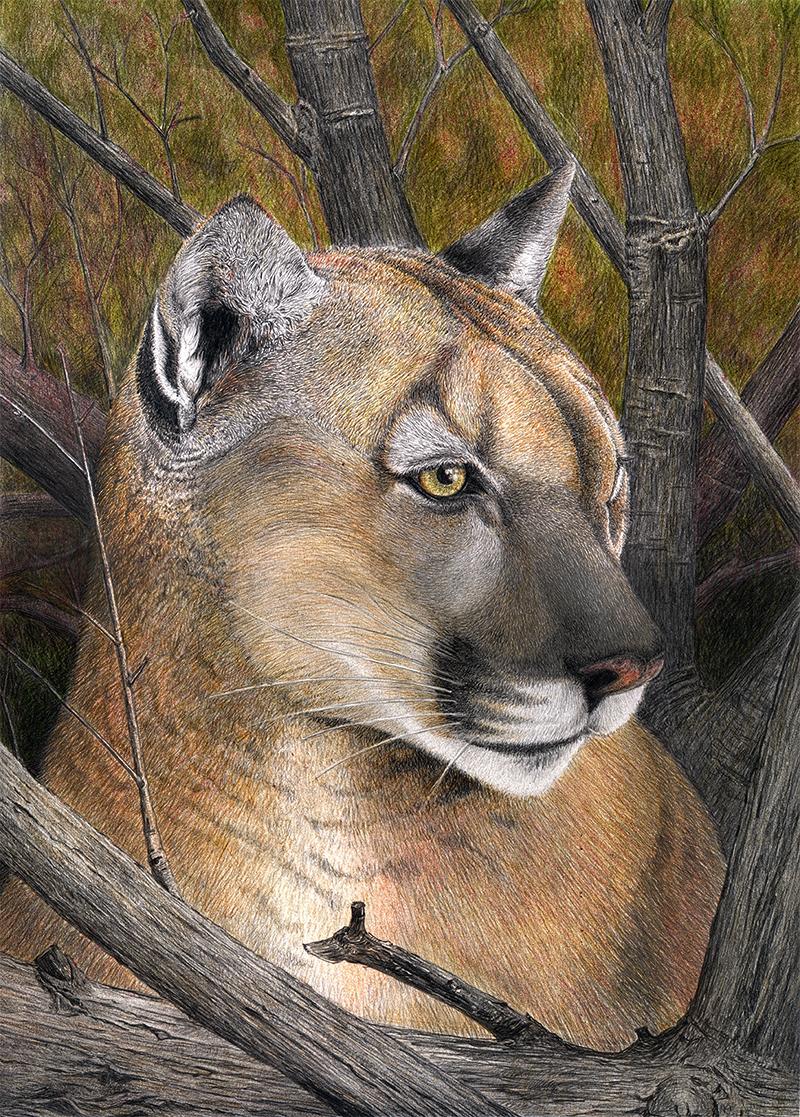 Free Cougar Clipart, 1 page of Public Domain Clip Art