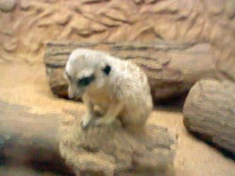 Meerkat Closeup by Nindendude