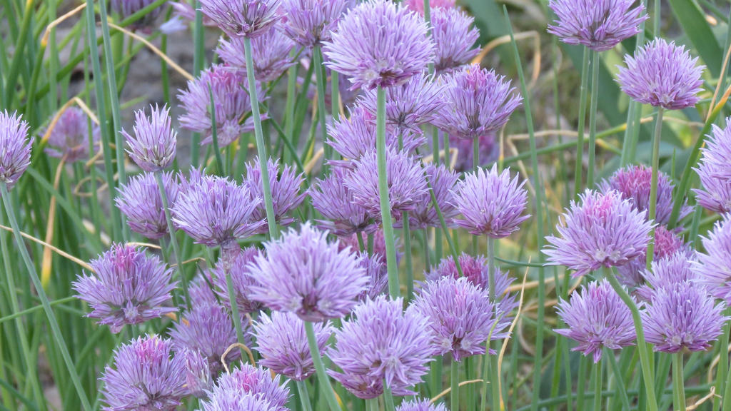 Allium-flowers 180531 3 by Kattvinge