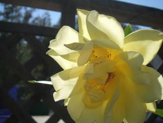 Closeup of a Yellow Rose