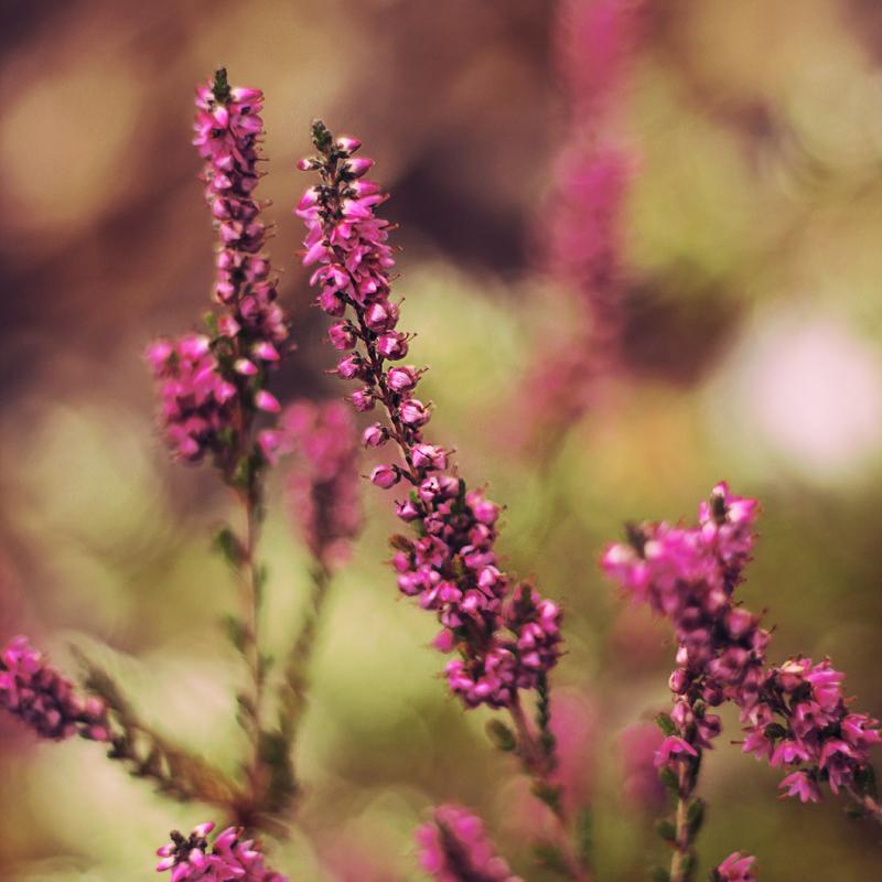 Pink flower by MilanVopalensky