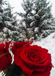 Snowy Roses by MirachRavaia