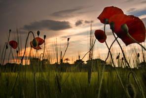 Poppies by MirachRavaia