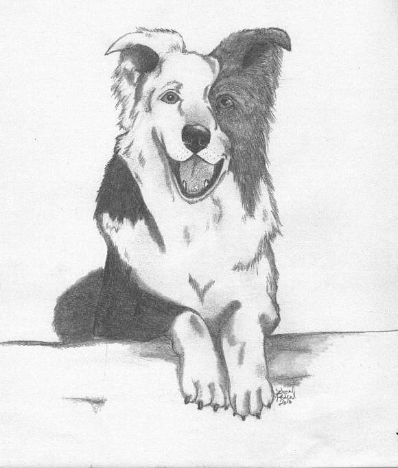 border collie sketch by pascalunaoriginals