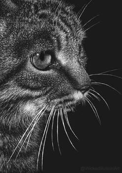 Tabby Cat (scratchboard)