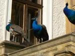 Royal Peacock