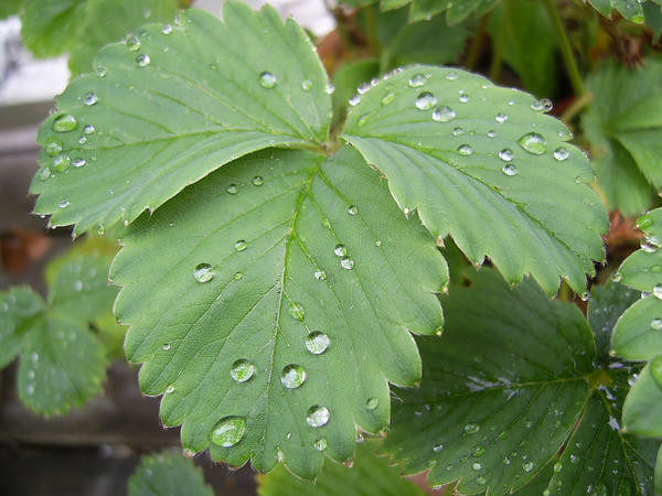 Wet Leaves by chamberstock