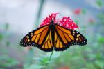 Monarch Butterfly Stock 2