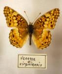 Butterfly Specimen 1