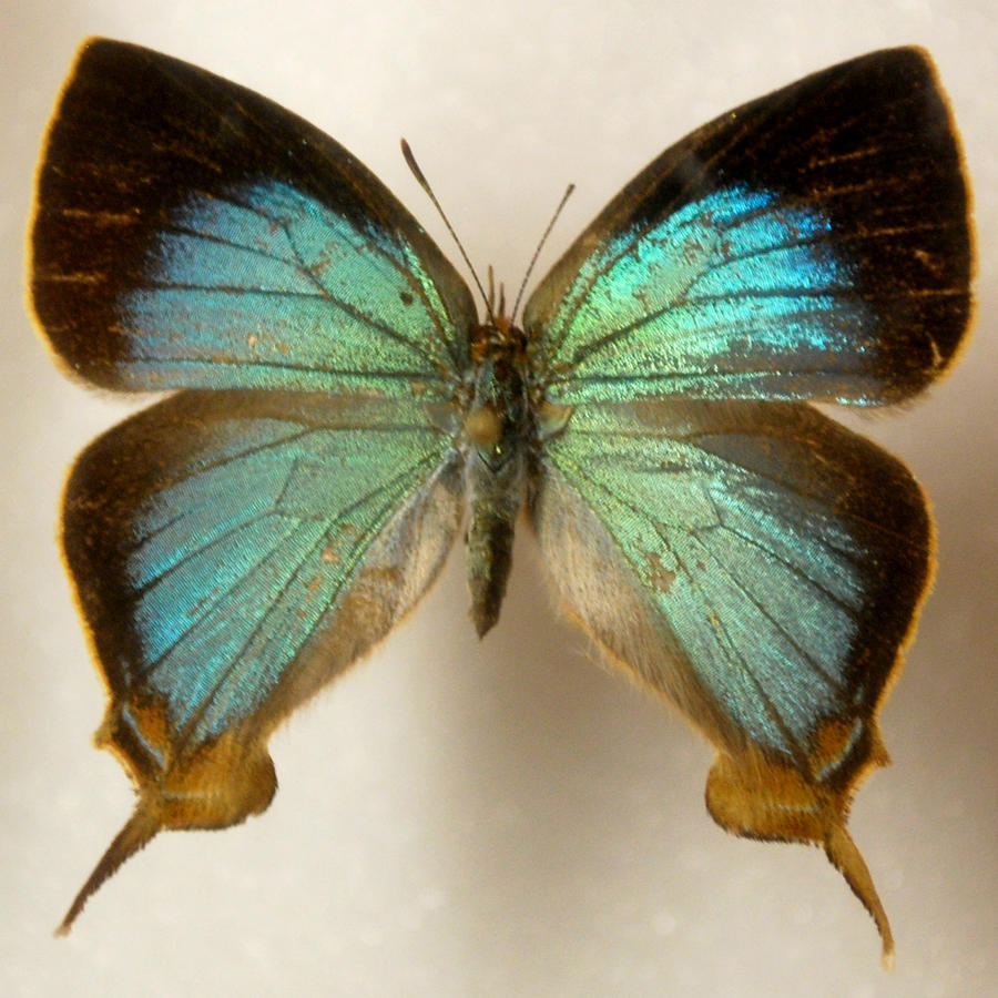 Butterfly specimen 3 by chamberstock resources stock images stock