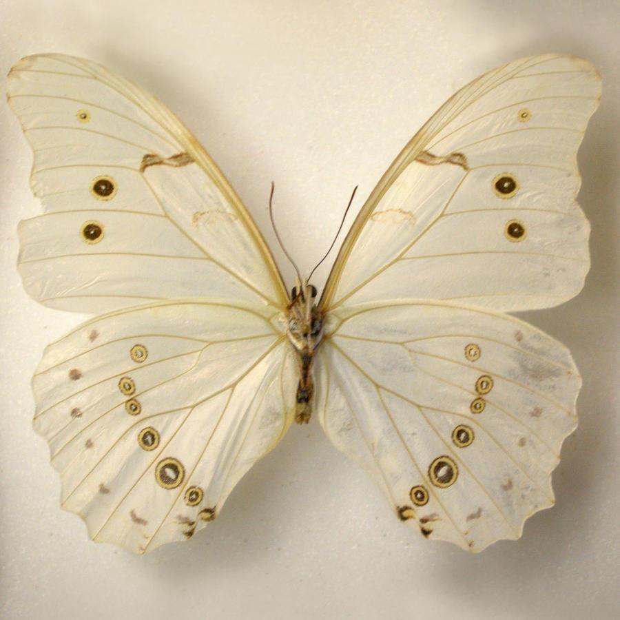 Butterfly Specimen 5 by chamberstock