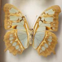 Butterfly Specimen 6 by chamberstock