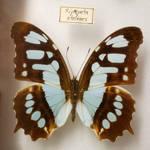 Butterfly Specimen 7