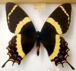 Butterfly Specimen 8
