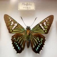Butterfly Specimen 9 by chamberstock