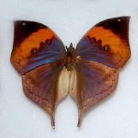 Butterfly Specimen 15 by chamberstock