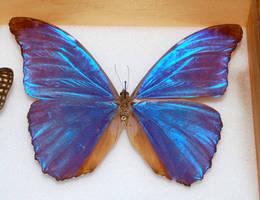 Butterfly Specimen 16 by chamberstock