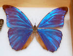 Butterfly Specimen 16