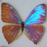Butterfly Specimen 17