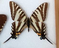 Butterfly Specimen 18 by chamberstock