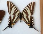 Butterfly Specimen 18