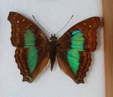 Butterfly Specimen 19 by chamberstock