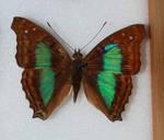 Butterfly Specimen 19