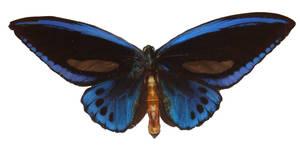 Butterfly Specimen 20 by chamberstock