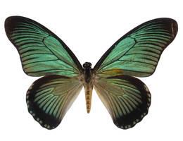 Butterfly Specimen 22