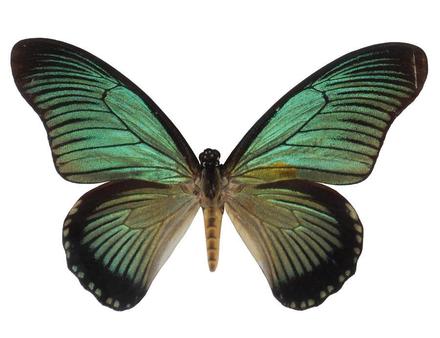 Butterfly Specimen 22 by chamberstock
