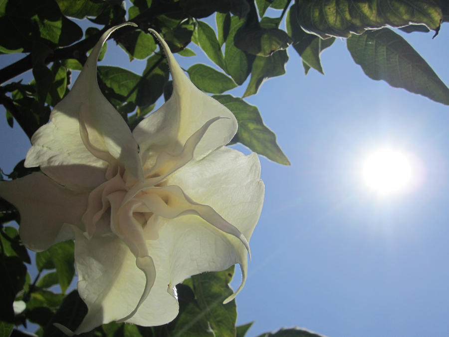 Angel's Trumpet Stock by chamberstock