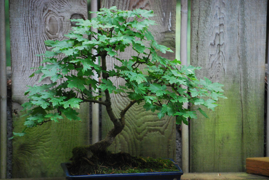 Bonsai Stock 7 by chamberstock